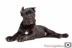 Cane corso puppy black