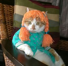 cat dressed costume with orange yarn hair on head. Cat memes - kitty cat humor funny joke gato chat captions feline laugh photo