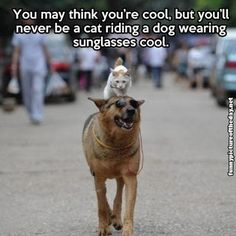 You May Think You're Cool Funny Meme Cat Riding Dog Wearing Sunglasses Animal Humor