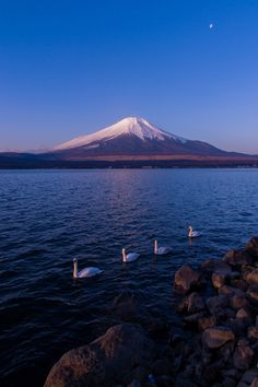 Mt. Fuji, Japan and swans.