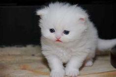 CFA Registered Teacup Persian Kitten