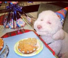 Bichon Frise Bday  Aww... CHI CHI LOVES THIS  PICTURE