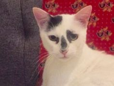 KEANU- Super Cute Love Buddy is an adoptable domestic short hair searching for a forever family near New York, NY. Use Petfinder to find adoptable pets in your area.
