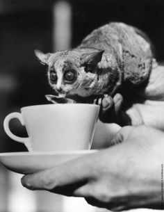Wilfred, a South African bush baby,   enjoys his morning cocoa at the London Zoo, 1938