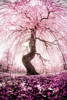 Cherry Blossom Shower   - Explore the World with Travel Nerd Nici, one Country at a Time. http://TravelNerdNici.com