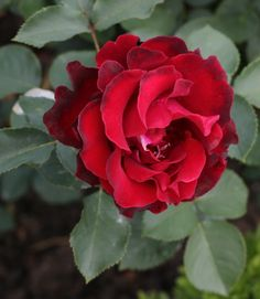 róża-Hommage-e-Barbara.jpg (556×640)