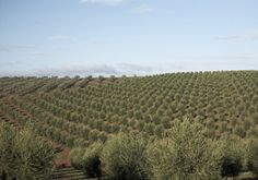 olive orchard andalucia