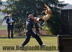 Faye de l'origine de faucon rouge, Malinois, IPO 3, Schutzhund, protection work at championship, www.BelgianMalinois.de Malinois.... made of awesome mixed with crazy