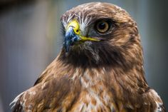 https://flic.kr/p/uaWZ74 | Buteo jamaicensis (Red-tailed hawk / Buse à queue rousse) | Another portrait from the Ecomuseum. Another majestic bird of prey...