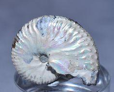 Iridescent-Scaphite-Ammonite-34-5mm-12-8-gram-Fossil-Shell