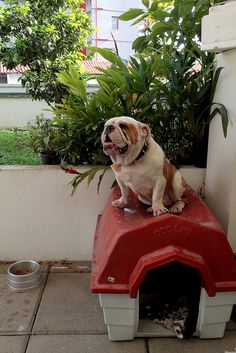 English Bulldog A la Snoopy - On top of his doghouse! Bulldog Pics, Bulldog Puppies, Cute Puppies, Dogs And Puppies, Baby Dogs, Pet Dogs, Dog Cat, Doggies, Pet Pet