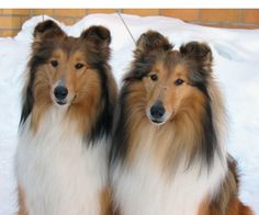 Seeing Double! Pretty Sable Collies.