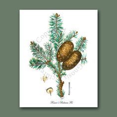 Botanic Print Wall Hanging Conifers print by GnosisPictureArchive
