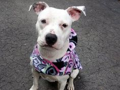 Lovables: SUPER URGENT!! TO BE DESTROYED 3/13/14 Manhattan Center -P  My name is LEXAS. My Animal ID # is A0992191. I am a female white and black pit bull mix. The shelter thinks I am about 1 YEAR 1 MONTH old.  I came in the shelter as a STRAY on 02/21/2014 from NY 10458, owner surrender reason stated was STRAY.  https://www.facebook.com/photo.php?fbid=763890133623868&set=a.611290788883804.1073741851.152876678058553&type=3&theater