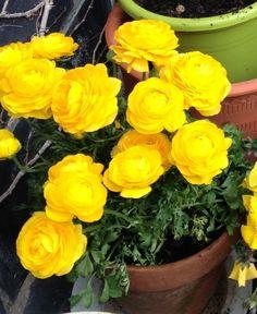 Cinco amarillas que querrás tener en tu jardín