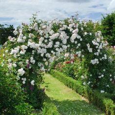 Adelaide d'Orléans - David Austin Roses