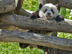 Panda Boy Fu Bao, 2014, Zoo Vienna