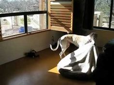 ~ Too cute - greyhound carries his bed into the sunlight for a nap ~ Love this!!  Tho actually I'm pretty sure the dog is a Smooth Saluki, his ear set is the reason.