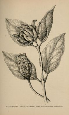 The wild flowers of California; - Biodiversity Heritage Library