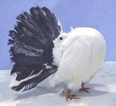 cool Dove Pigeon, Pigeon Bird, Fantail Pigeon, Cute Birds, Pheasant, Beautiful Birds, Animals And Pets, Loft, Animals