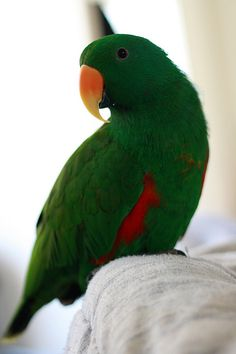 Green Male Eclectus parrot