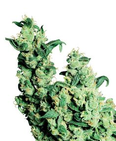 Compra semillas de Jack Herer® - Sensi Seeds