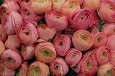 Pink Cloni ranunculus at New Covent Garden Flower Market - March 2016