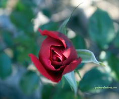 Red rose from above. Spring 2012