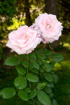 Photograph Twin rose by Steve Pétrel on Classy Wallpaper, Beautiful Flowers Wallpapers, Little Rose, Morning Flowers, Flower Wallpaper, Shade Garden, Pretty Flowers, Monet, Trees To Plant