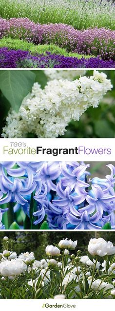 The Garden Glove's FAVORITE FRAGRANT FLOWERS that flourish in most gardens, and how to grow them!