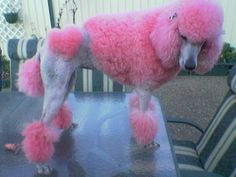 heart pink poodle