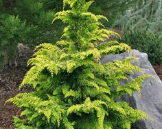 Image Result For Fernspray Gold Hinoki Cypress Conifer Trees Plants Online