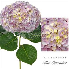 Hydrangeas Lavender - EbloomsDirect Where to Buy Bulk Flowers Online for Your Wedding - #roses #Garden #Flowers #peonies #wedding #events #bouquets #arrangement #party #Carnation #BabysBreath #centerpieces #autumn #recipes #bridal #floral #DIY #gift #valentines #bride #blooms #anniversary #mothersday #baby #USA #Costco, #art #Texas #design #SamsClub #fiftyflowers #GlobalRose #BloomsbytheBox #Bloominous #ThePerfectPalette #theweddingpages #TheBouqs