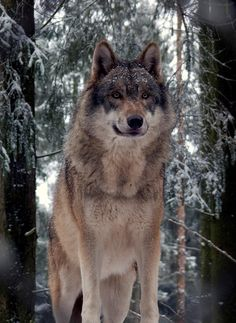 One of the four grey wolves in the Tierpark Lüneburger Heide, GermanybyGunnar Ries