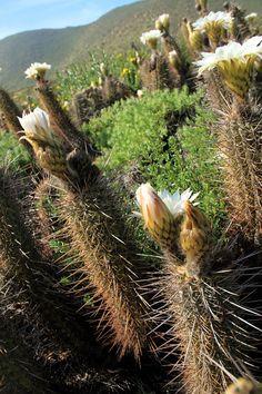 Lo más espectacular se ubica en desde Vallenar hacia el norte, camino a Copiapó, tanto en el área central y zona de travesía, como en la zona costera de Huasco, Carrizal Bajo y Totoral hasta Caldera. Así también sorprende el Parque Nacional Llanos de Challe, al norponiente de Vallenar, como un hábitat de gran biodiversidad tanto en flora y fauna, poseyendo la vegetación numerosos endemismos como la especie Garra de León o Leontochir Ovallei, y variadas especies de cactáceas.