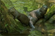 Dude I just Love This Tree    River otters, Cades Cove, Great Smoky Mountains National Park ©Charlie Choc, All Rights Reserved