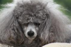 Grey Poodle   Toy Poodle with bad hair
