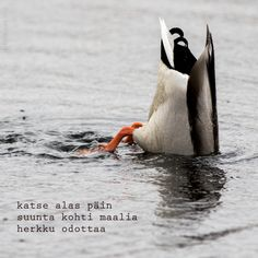 Duck, Haiga-photo
