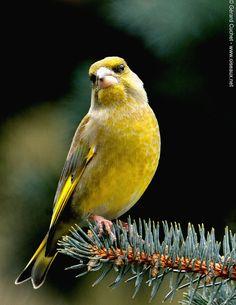 Pretty Birds, Beautiful Birds, Song Thrush, Greenfinch, Bird Pictures, Little Birds, Bird Species, Finches, Owl