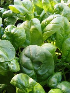 We can't guarantee you'll end up like Popeye, but we can help you grow all the spinach you'll ever need.