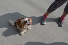 """This pretty King Charles spaniel joined his Elite Adventure Tours family on their private tour of Los Angeles which included a hike up into Runyon Canyon in Hollywood.  The whole family (2- and 4-legged) loved the walk, the fresh air, the views and the smells of the landscape. We met lots of other """"dog"""" families, too."""