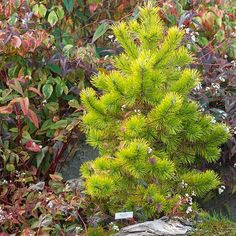 Choose a particularly stunning evergreen (such as golden 'Chief Joseph' pine, contorted 'Emerald Twister' Douglas fir, or white-variegated 'Horstmann's Silberlocke' Korean fir) and treat it as a specimen plant in your landscape. Selections such as these are so eye-catching they don't need neighbors.  Learn more about 'Chief Joseph' pine.  Learn more about 'Horstmann's Silberlocke' Korean fir.