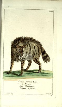 Hyena. Gemeinnüzzige Naturgeschichte des Thierreichs Bd 1 plates Berlin ;bei Gottlieb August Lange,1780-1789. Biodiversitylibrary. Biodivlibrary. BHL. Biodiversity Heritage Library