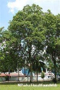 Syzygium grande (Wight) Walp.-moderate water Sun Plants, Flora And Fauna, Landscape Architecture, Author, Plants Sunny, Landscape Design, Landscape Art