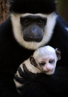 Colobus Monkey, Adult and child