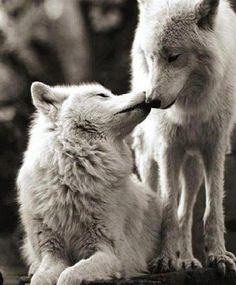 I love the one strong enough to run with me. Wolf love fiercely protects us from harm and keeps us wild ️ Wolf Spirit, My Spirit Animal, My Animal, Wolf Love, Beautiful Creatures, Animals Beautiful, Cute Animals, Wild Animals, Wolf Pictures