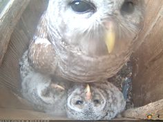 Mama owl says, good morning! Are you a fan of the Wild Birds Unlimited Owl Cam? Be sure to tell your friends about this cool opportunity to see what really happens inside a nest. The owlets are growing everyday and are getting very active now. Watch the live streaming video 24 hours a day www.wbu.com