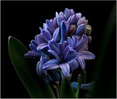 https://flic.kr/p/QMmMiW | Blue Hyacinth | home grown Hyacinth