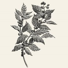 Cup Of Coffee Photography - Brewed Coffee Recipe - - Coffee Plant Sketch - - Coffee Illustration, Plant Illustration, Botanical Illustration, Coffee Drawing, Coffee Painting, Coffee Artwork, Tattoo Cafe, Coffee Flower, Coffee Tattoos