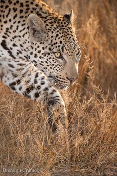 On the Move - Young mail leopard moving stealthily through the grass keeing a close eye on us. Sabi Sand Game Reserve, South Africa, whilst on safari for ODP Safaris